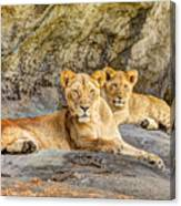 Female Lion And Cub Hdr Canvas Print
