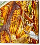 Field Corn Ready For Harvest Canvas Print