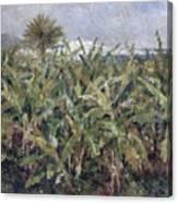 Field Of Banana Trees Canvas Print