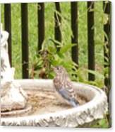 Fledgling Bluebird At Birdbath Canvas Print
