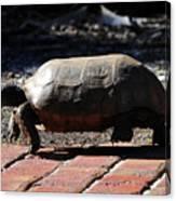 Florida Gopher Tortoise Canvas Print