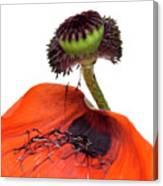 Flower Poppy In Studio Canvas Print