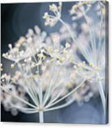 Flowering Dill Clusters Canvas Print