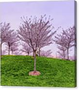 Flowering Young Cherry Trees On A Green Hill In The Park  Canvas Print