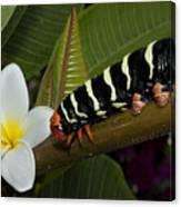 Frangipani Tree And Caterpillar Canvas Print