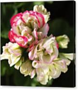 Geranium Flowers Canvas Print