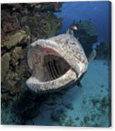 Giant Grouper, Great Barrier Reef Canvas Print