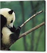 Giant Panda Ailuropoda Melanoleuca Year Canvas Print