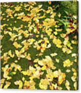 Ginkgo Biloba Leaves Canvas Print