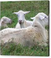 Goat Family Canvas Print