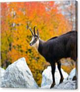 Goat In The Austrian Alps Canvas Print