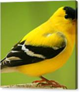 Goldfinch Canvas Print