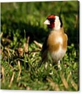 Goldfinch Spring Canvas Print