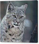 Gorgeous Bobcat's Face Up Close Canvas Print