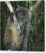 Gray Bamboo Lemur Canvas Print