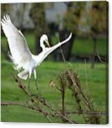 Great Egret Prepared For Landing Canvas Print