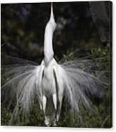 Great White Egret Display Canvas Print