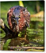 Green Heron Canvas Print