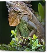 Green Iguana Iguana Iguana, Sarapiqui Canvas Print