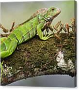Green Iguana Iguana Iguana, Tarcoles Canvas Print