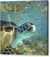 Green Sea Turtle Balicasag Island Canvas Print