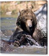 Grizzly Bear Plays In Water Canvas Print
