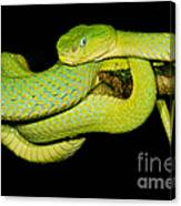 Guatemala Palm Pitviper Canvas Print