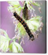 Gypsy Moth Caterpillar Canvas Print
