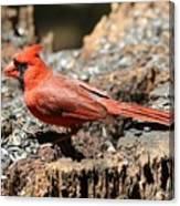 Hungry Cardinal Canvas Print