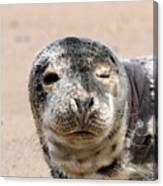 Harbor Seal Canvas Print