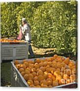 Harvesting Navel Oranges Canvas Print