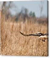 Hawk Soaring Over Field Canvas Print