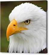Head Of An American Bald Eagle Canvas Print