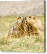 Himalayan Marmots Pair Kissing In Open Grassland Ladakh India Canvas Print