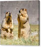 Himalayan Marmots Pair Standing In Open Grassland Ladakh India Canvas Print
