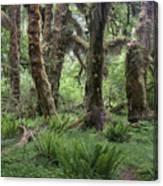 Hoh Rain Forest 3371 Canvas Print