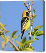 Hooded Oriole Canvas Print