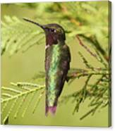 Hummer On Watch Canvas Print