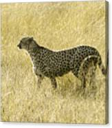 Hunting Cheetah Canvas Print
