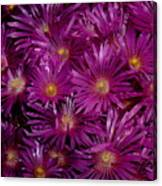Ice Plant Canvas Print