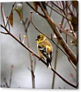 Img_0001 - American Goldfinch Canvas Print