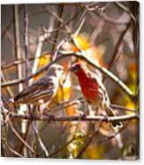 Img_0001 - House Finch Canvas Print