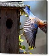 Img_1414-003 - Eastern Bluebird Canvas Print