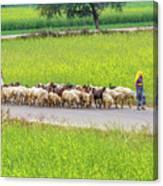 Indian Villagers Herding Sheep. Canvas Print