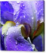 Iris With Raindrops Canvas Print