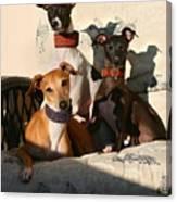 Italian Greyhounds Canvas Print