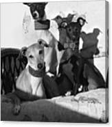 Italian Greyhounds In Black And White Canvas Print