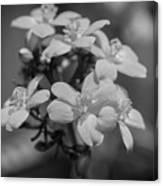 Jatropha Blossoms Painted Bw Canvas Print