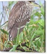 Juvenile Black-crowned Night Heron Canvas Print