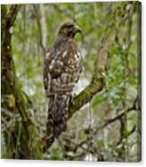 Juvenile Short-tailed Hawk Canvas Print